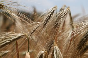 Anti Gluten Free: How to Bring Wheat Back to Your Diet